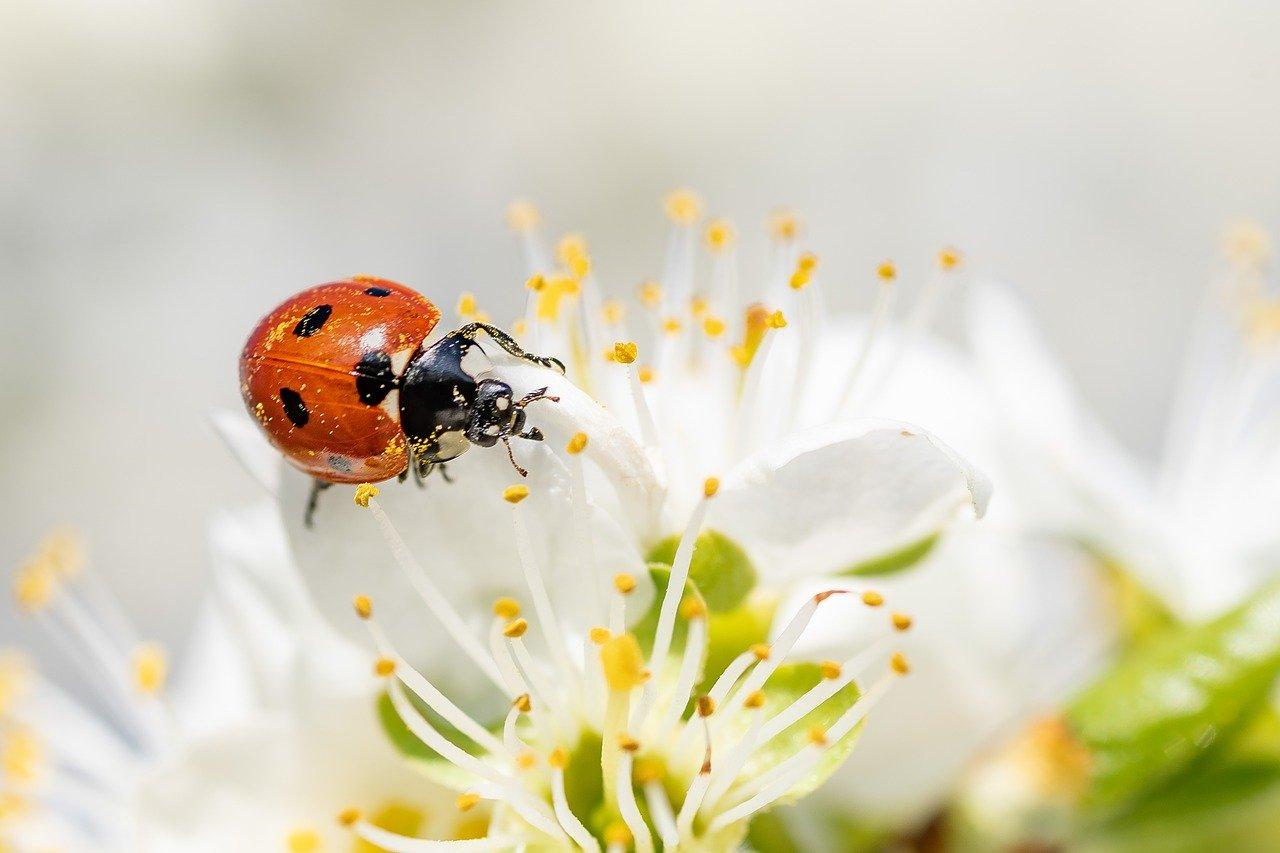 Ladybug crawling on a flower in springtime